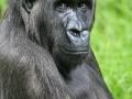 Melbourne-Zoo-gorilla-low